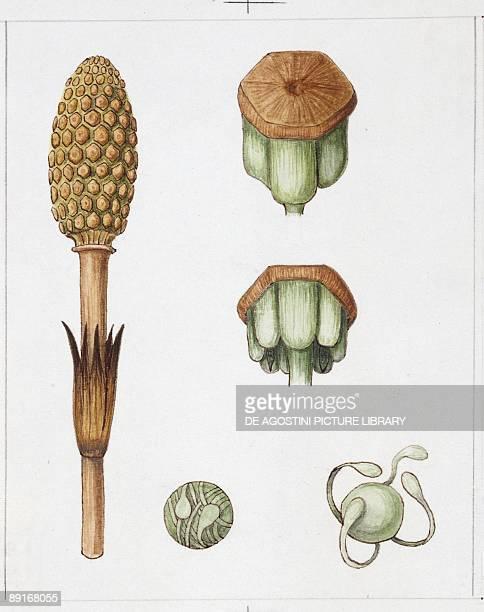Field Horsetail illustration