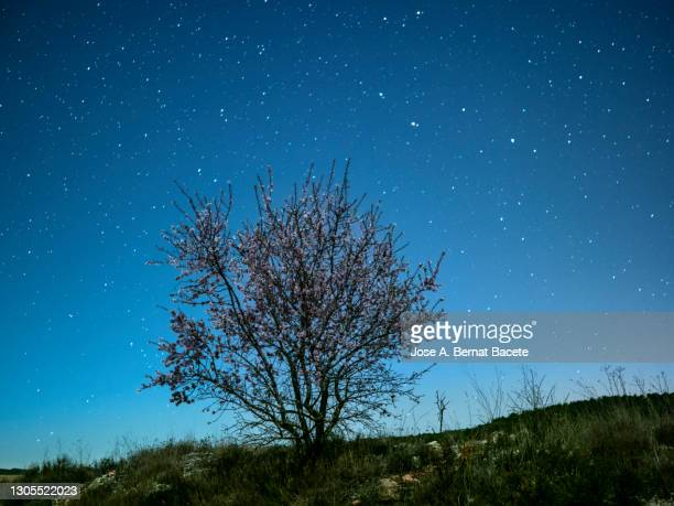 field landscape with a lonely tree (almond blossom) a night of clear sky with stars. - flower moon stock pictures, royalty-free photos & images