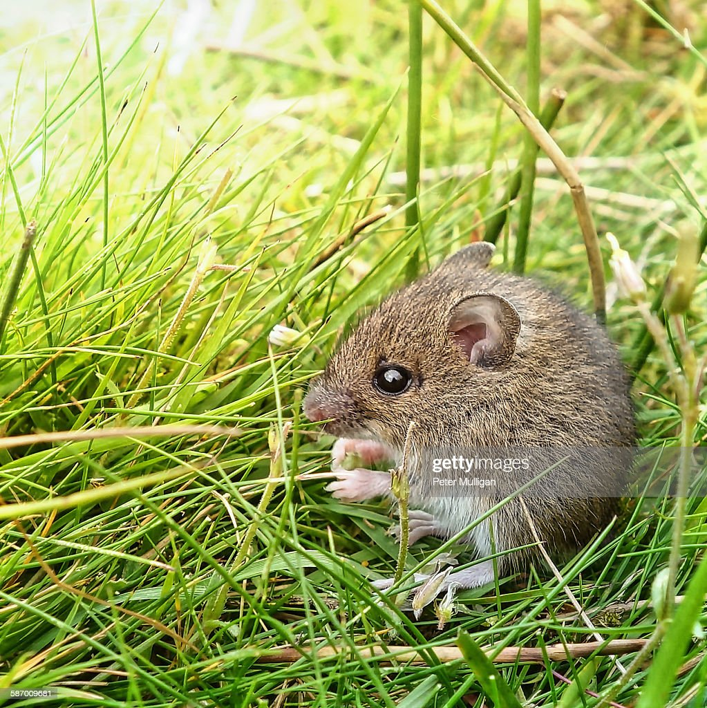 Field mouse feeding in grass : Stock Photo