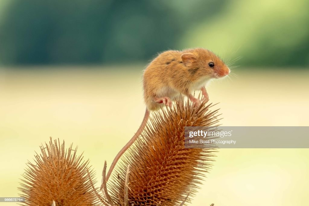 Field Mouse : Stock Photo