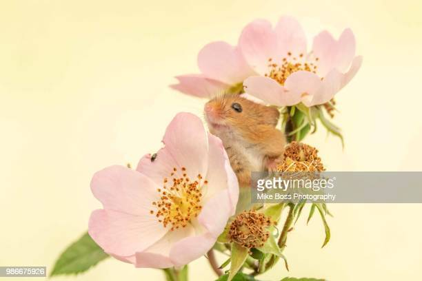 field mouse - field mouse stock photos and pictures
