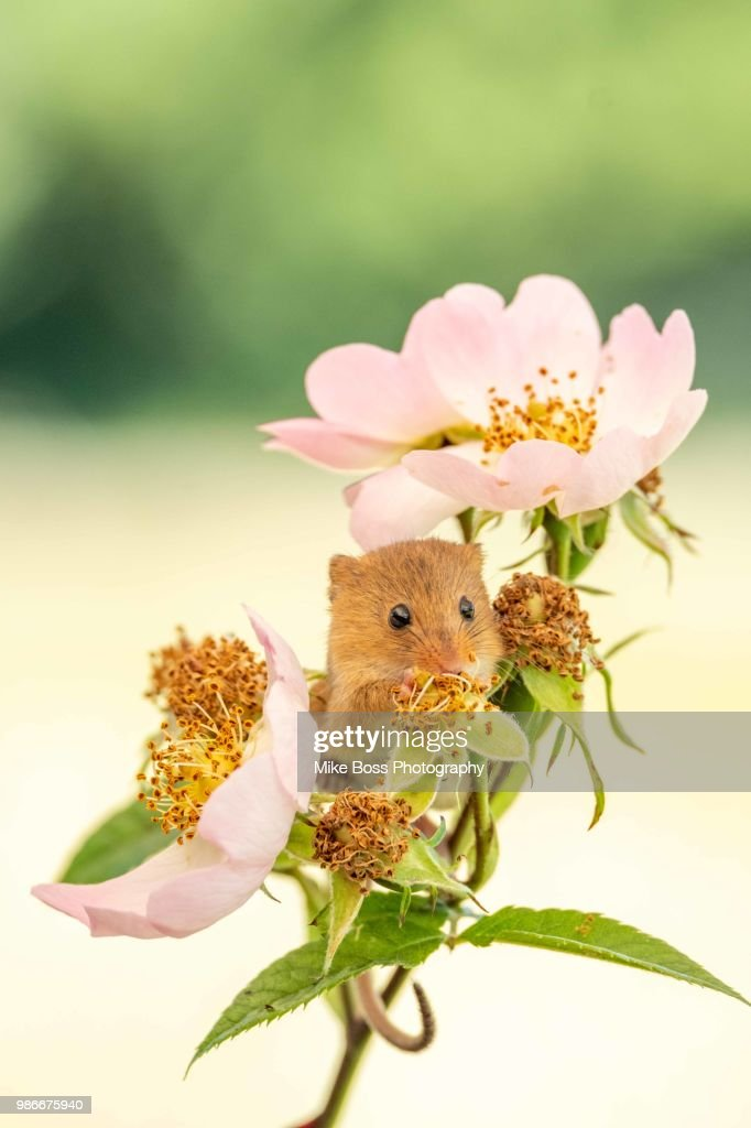 Field Mouse : Photo