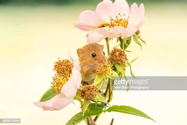 field mouse - field mouse stock pictures, royalty-free photos & images