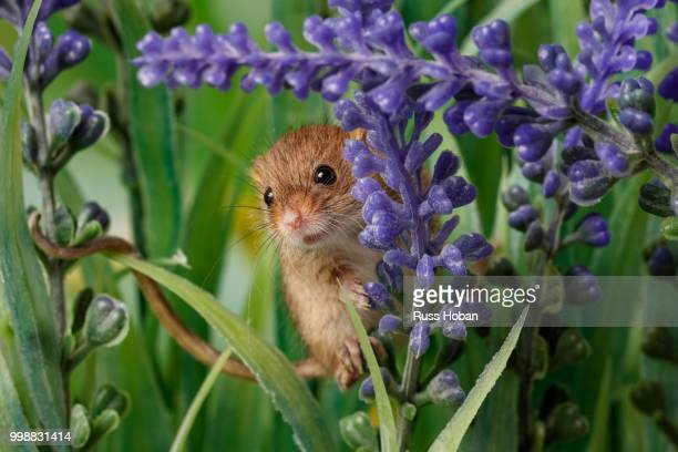 field mouse - harvest mouse stock pictures, royalty-free photos & images