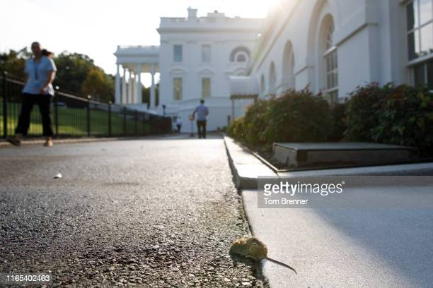 A field mouse rests along the North Lawn Driveway on September 1 2019 outside of the White House in Washington DC