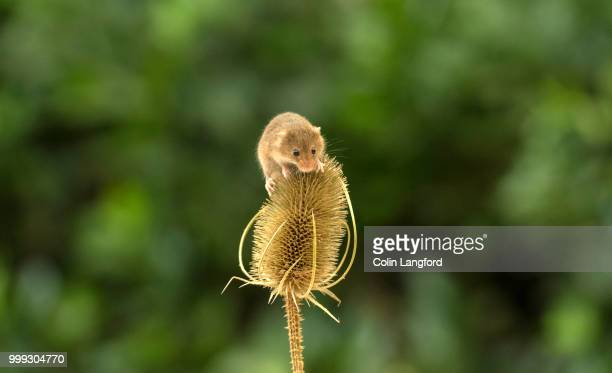 field mouse series - field mouse stock photos and pictures
