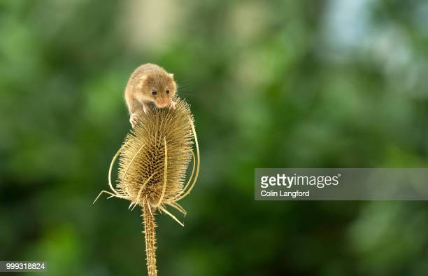 field mouse series - field mouse - fotografias e filmes do acervo
