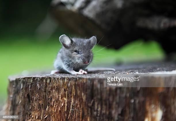Field mouse sitting on stump