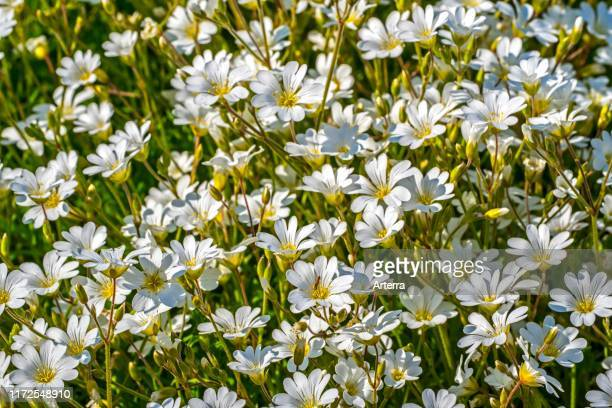 Field mouseear / field chickweed in flower native to Europe and North America