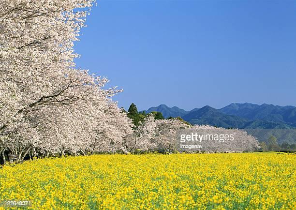 Field Mustard and Cherry Blossom