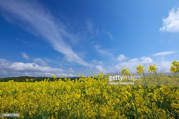 Field mustard and sky, Akita Prefecture