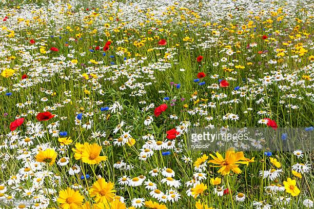 field of a variety of multicolored wild flowers - wildflower stock pictures, royalty-free photos & images