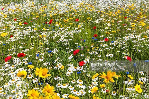 champ d'une variété de multicolores fleurs sauvages - fleurs des champs photos et images de collection