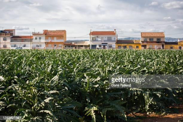 field of artichokes with a line of residential houses in the background - dorte fjalland fotografías e imágenes de stock