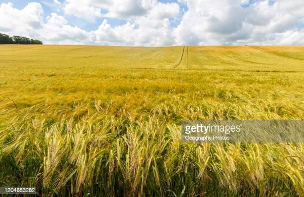 Field of barely crop growing in sloping hillside field Little Blakenham Suffolk England UK