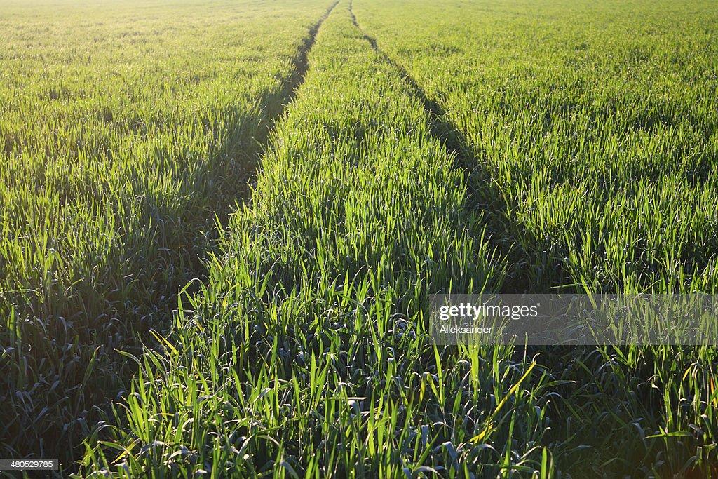 Field of barley : Stock Photo