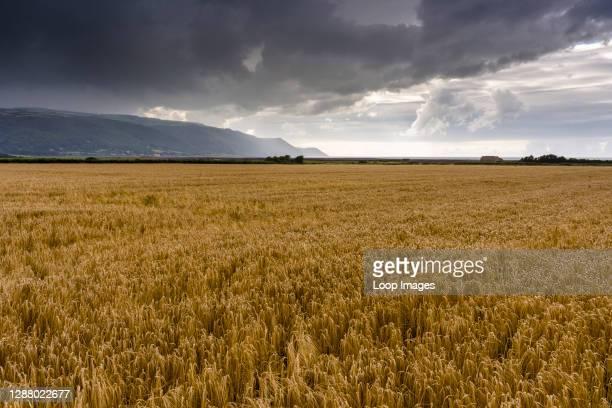 Field of barley under a stormy sky in Exmoor National Park with Porlock Bay beyond.