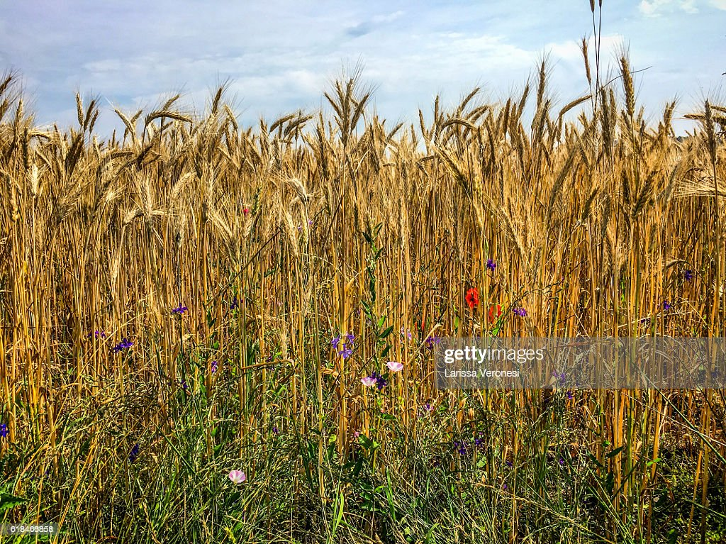 Field of barley with wildflowers : Stock-Foto