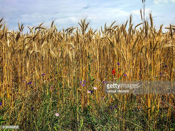 Field of barley with wildflowers