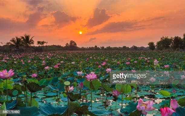 field of blooming lotus flower in sunrise