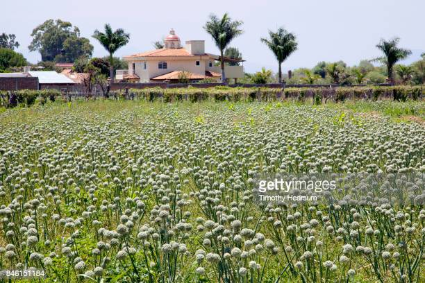 field of blooming onions with a red-tile roof villa and palm trees beyond - timothy hearsum stockfoto's en -beelden