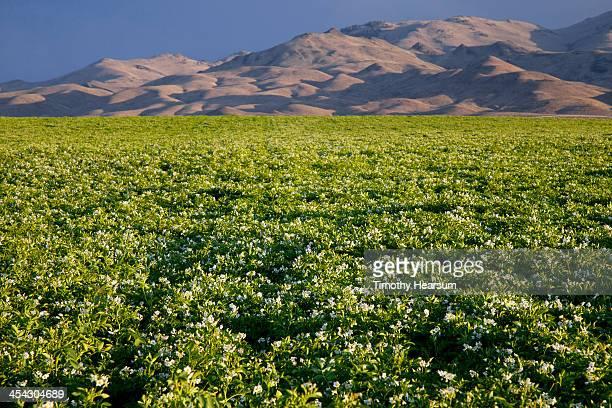 field of blooming potato plants, mountains beyond - timothy hearsum stockfoto's en -beelden