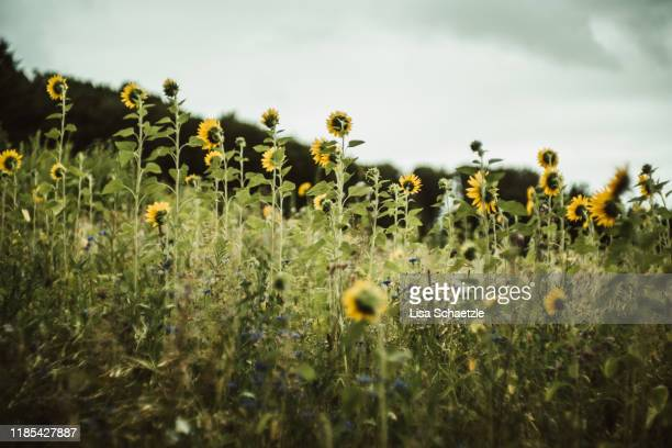 a field of blooming sunflowers in summer - desaturated stock pictures, royalty-free photos & images