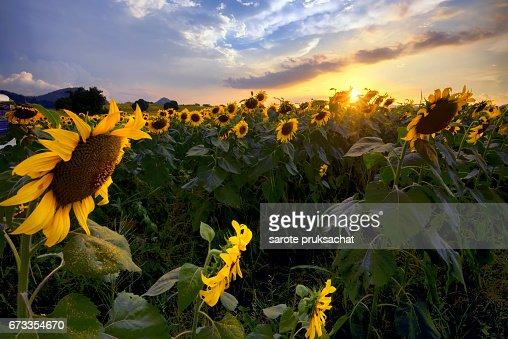 Sunflower Field Over Blue Sky Stock Photo