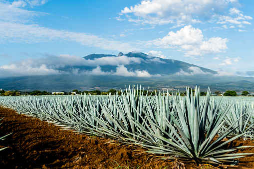 A field of Blue Agave in Jalisco Mexico - gettyimageskorea
