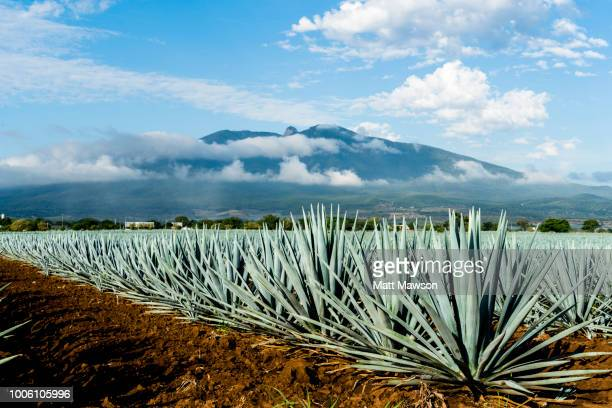 a field of blue agave in jalisco mexico - mexique photos et images de collection