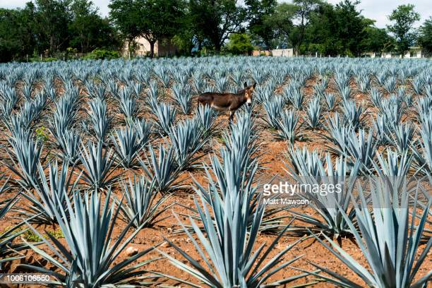a field of blue agave in jalisco mexico - jalisco state stock pictures, royalty-free photos & images