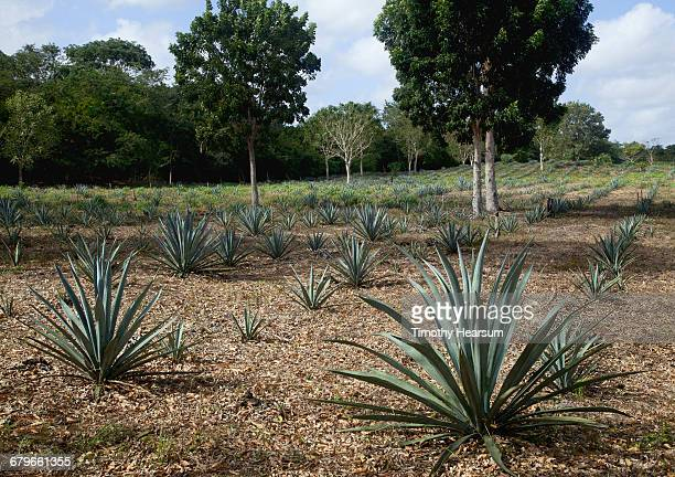 Field of blue agave plants with trees mixed in