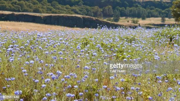 Field of blue bachelors button cornflower 2 Rowena Crest Columbia River Gorge Wildflower Meadow