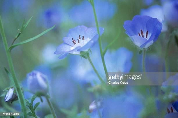 Field of blue flowers in bloom
