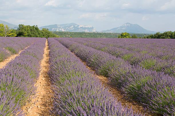 field of blue flowers lavander l hybrida france pictures getty