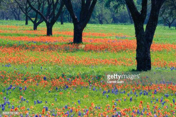 field of bluebonnets and indian paintbrush - texas bluebonnet stock pictures, royalty-free photos & images