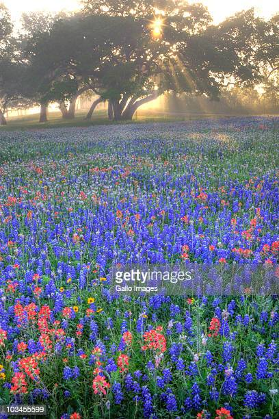 Field of bluebonnets (Lupinus texensis), paintbrush(Castilleja foliolosa) and trees on foggy morning sunrise, Texas, USA, North America