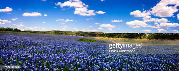 field of bluebonnets, texas, usa - région de la côte du golfe photos et images de collection