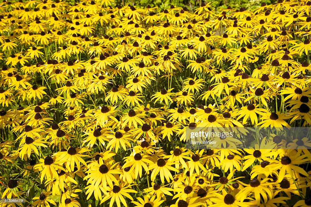 Field Of Bright Yellow Petals With Brown Centers Stock ...