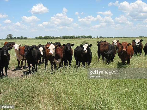 A field of brown cattle grazing