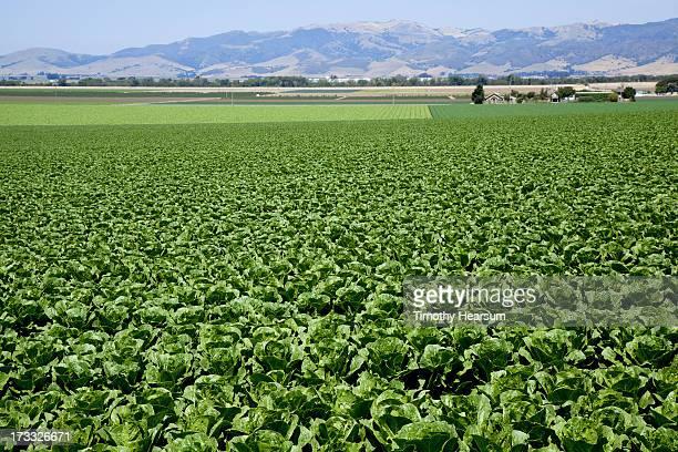 field of butter lettuce with mountains beyond - timothy hearsum fotografías e imágenes de stock