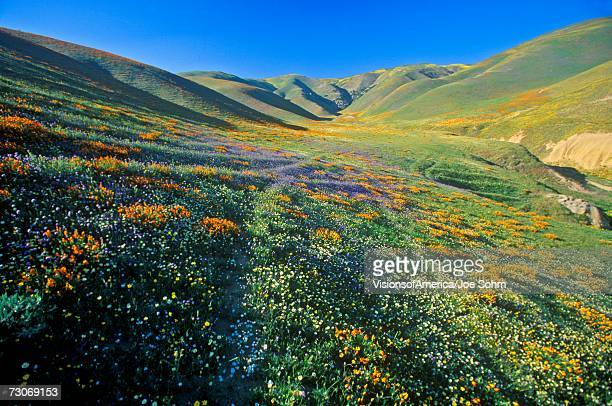 """Field of California poppies in bloom with wildflowers, Lancaster, Antelope Valley, CA"""