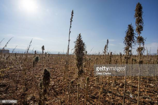 A field of cannabis in the Beqaa Valley in eastern Lebanon on November 1 2015 Marijuana is grown openly in many areas of this 75 mile long valley and...