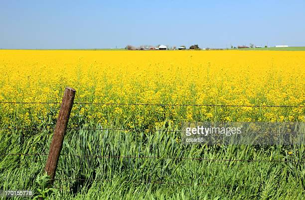 Field of Canola and Wheat with fence