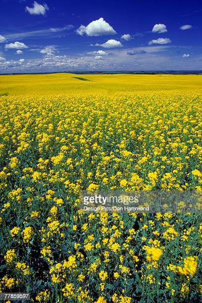 field of canola in bloom - canola oil stock pictures, royalty-free photos & images