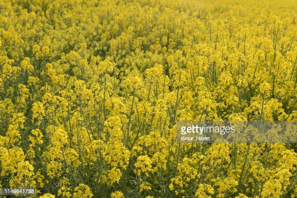 field of canola - canola oil stock pictures, royalty-free photos & images