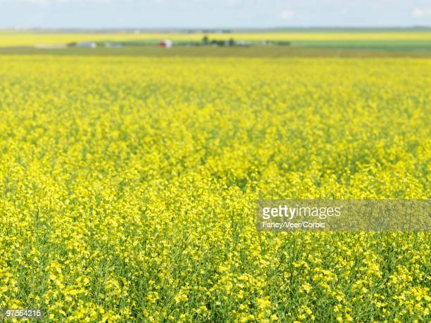 field of canola - climat stock pictures, royalty-free photos & images