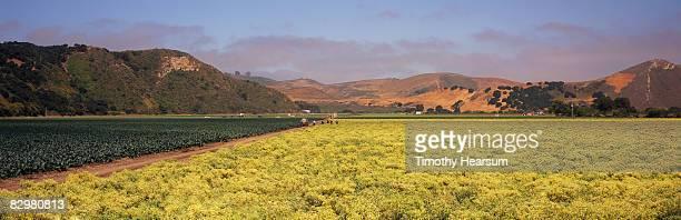 field of cauliflower grown for seed - timothy hearsum fotografías e imágenes de stock