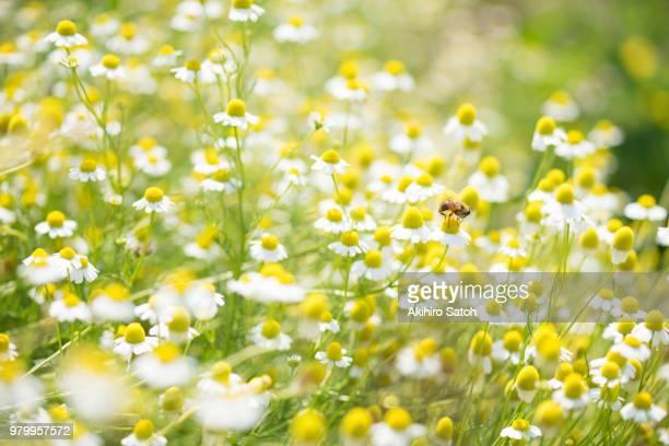 field of chamomile - niet gecultiveerd stockfoto's en -beelden