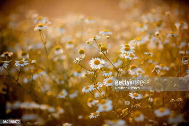 field of chamomiles at sunset - chamomile tea stock photos and pictures